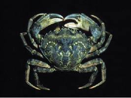 European green shore crab invasive species Australian