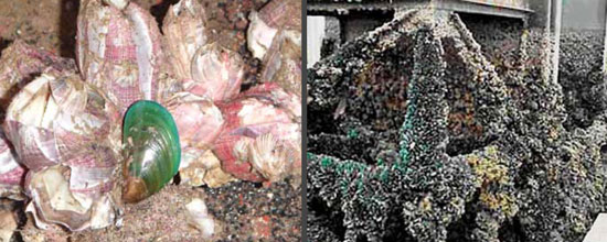 asian green mussel vessel biofouling